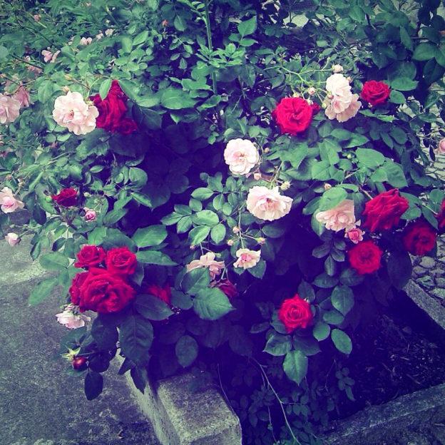 rosenbusch-bild-vor-der-prisma-app